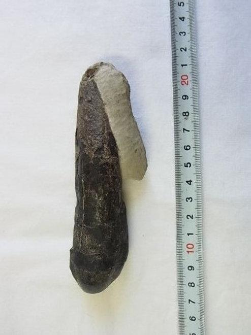 カマラサウルス実物歯化石