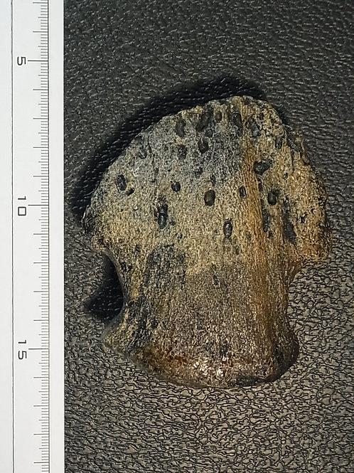 エドモントサウルスの爪レプリカ