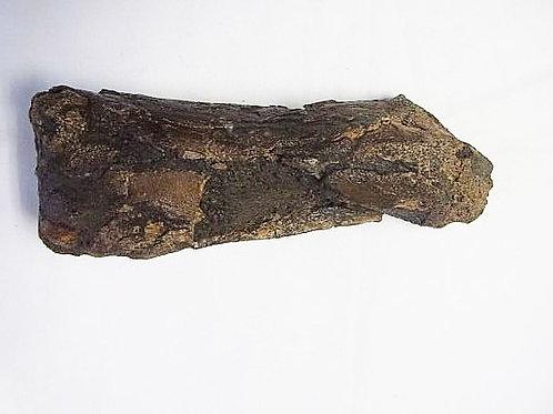 エドモントサウルス中足骨実物化石