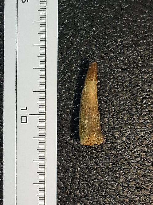コロボリンクス実物歯化石