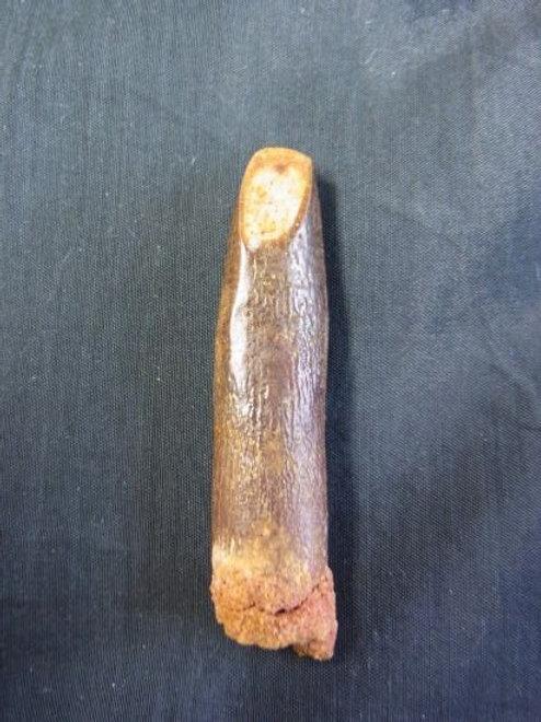 レバッキサウルス実物歯化石①