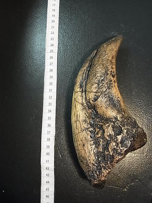 ティラノサウルス脚の爪レプリカ大