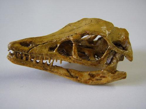 始祖鳥頭骨レプリカ