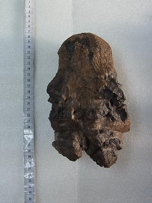 トリケラトプス後頭顆実物化石