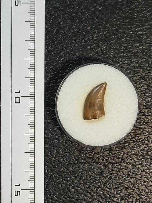 ナノティラヌス実物歯化石