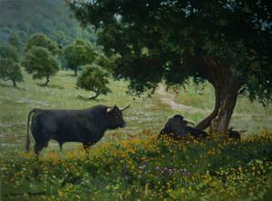 Spanish Fighting Bulls