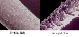 The hair shaft
