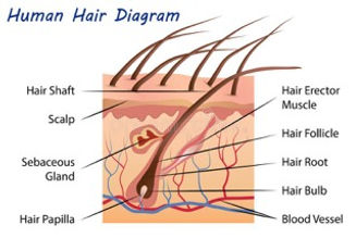 diagram-of-hair-structure.jpeg