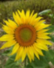 Vertical Sunflower.jpg