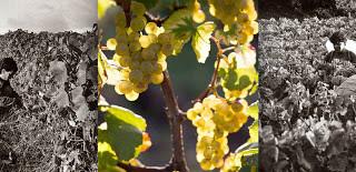 domaine des crais vignes2.jpg