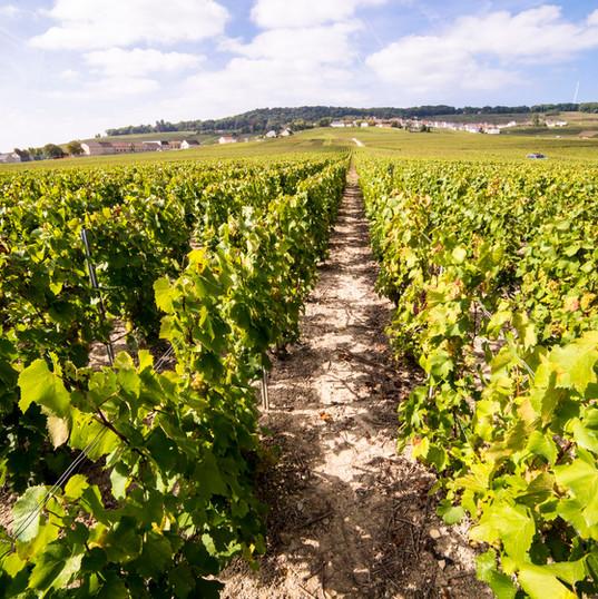 lemaire vignes 4.jpg