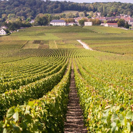 lemaire vignes 5.jpg
