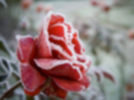 frosted-red-rose-124681239-5b1dbe31fa6bc