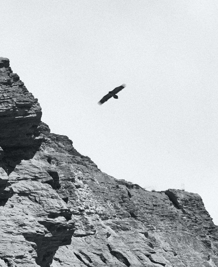 STEPPE EAGLE HUNTING