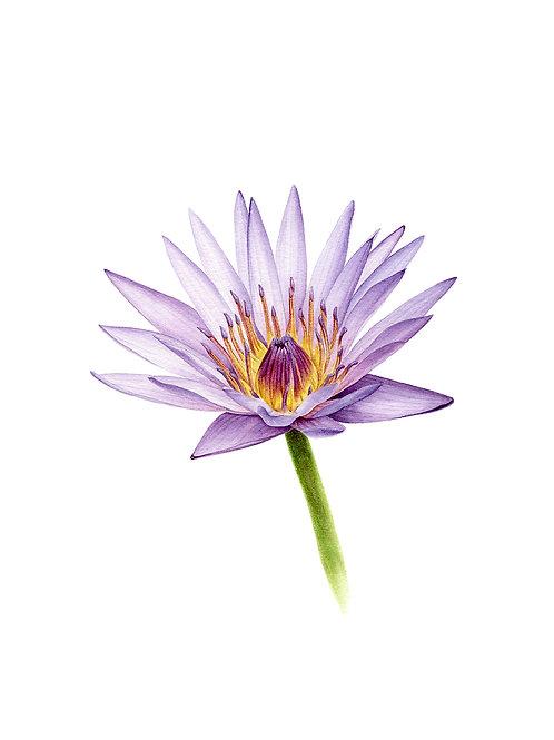 Nymphaea caerulea / Blue Lotus