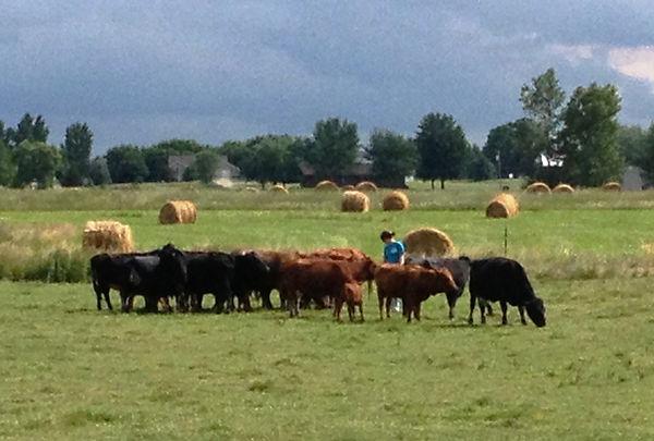 Shamrock Dexter herd snapshot