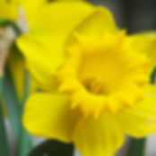 Gelbe Narzissen Close Up