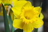 Yellow Daffodil Close Up