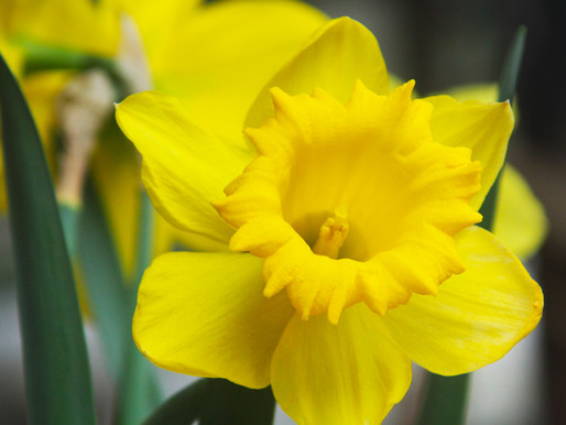 The Daffodil Drabble