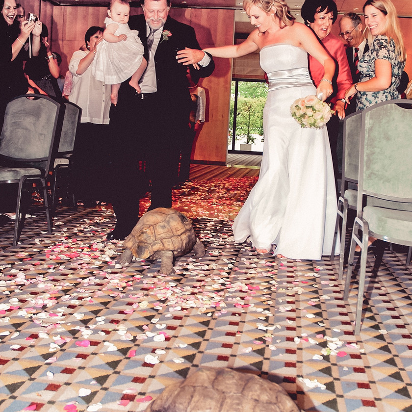 Tortoise walking up the aisle strewn with rose petals with Bride and Groom
