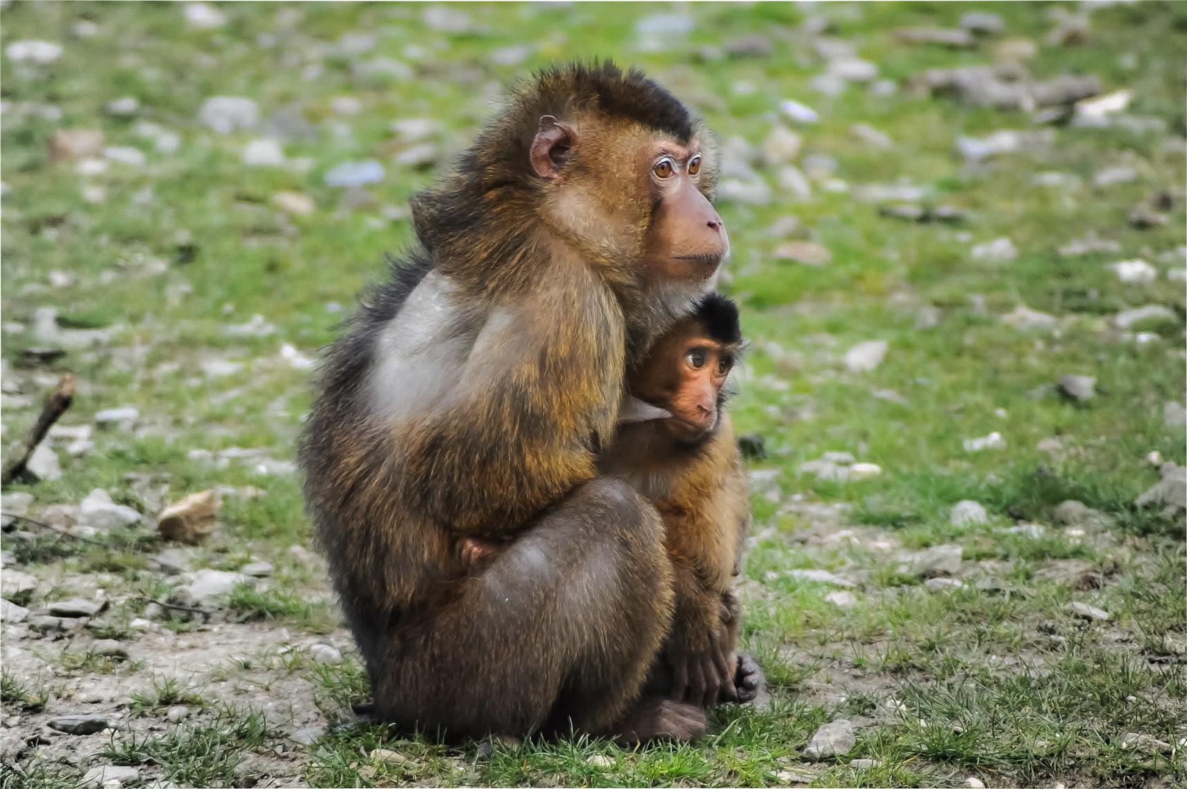 barbary-ape