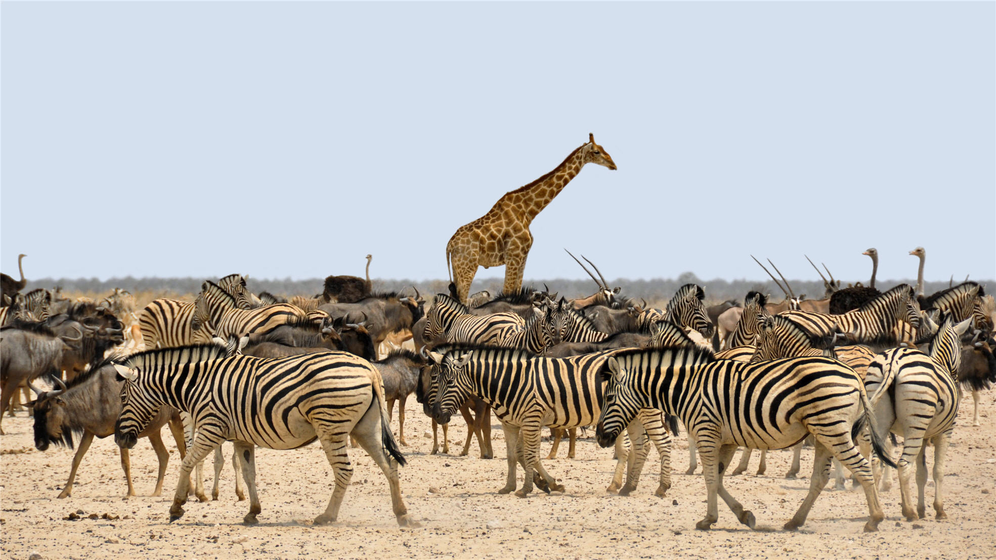 zebras, giraffe