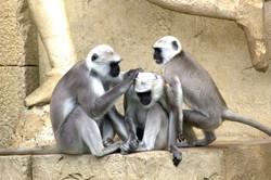 green-monkeys