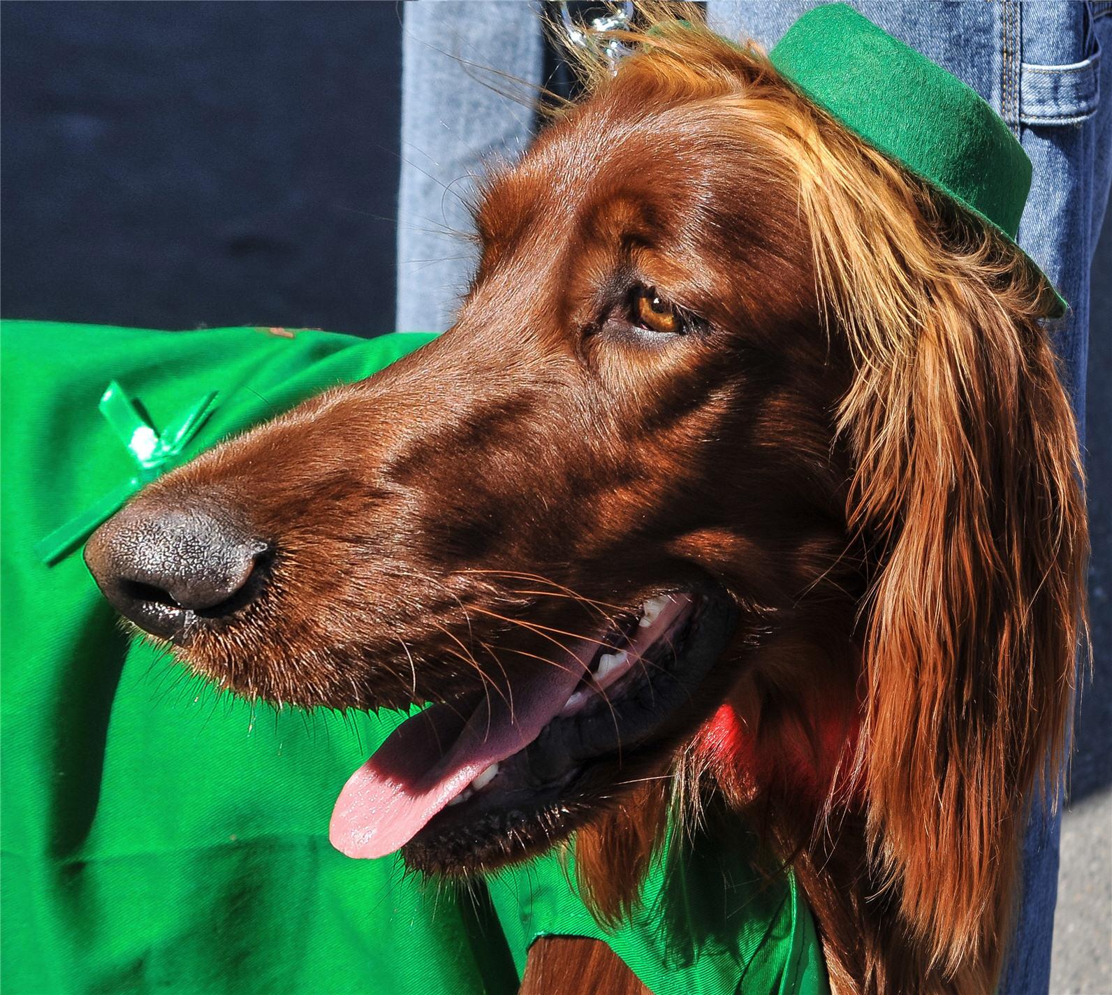 irish-setter