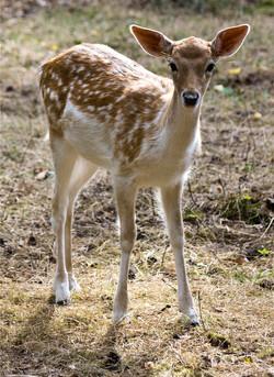 young-fallow-deer