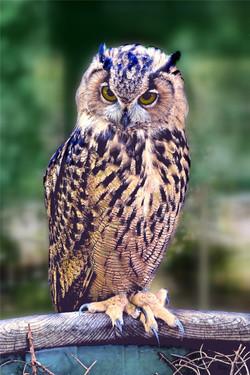 sowa-owl