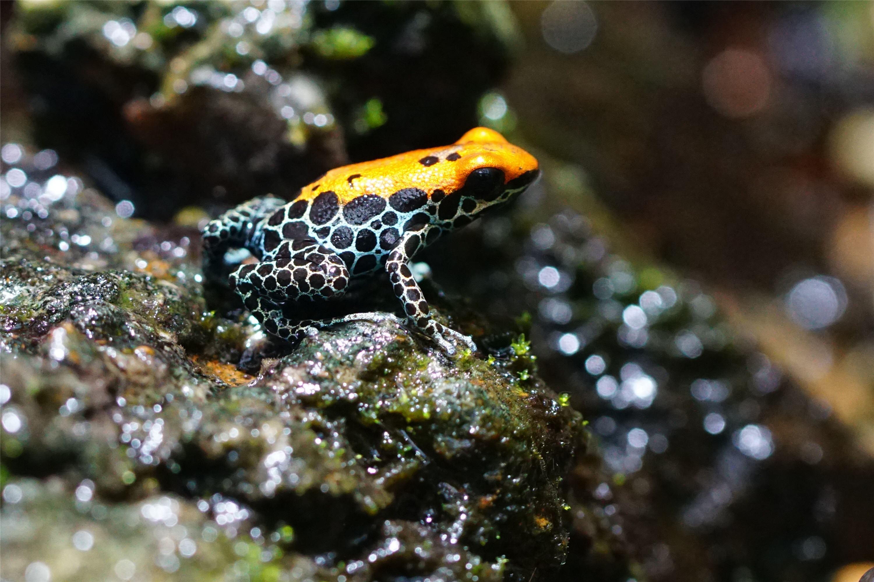 poison-frog