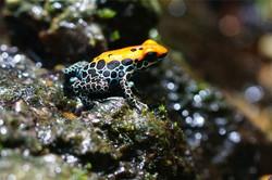 poison-frog