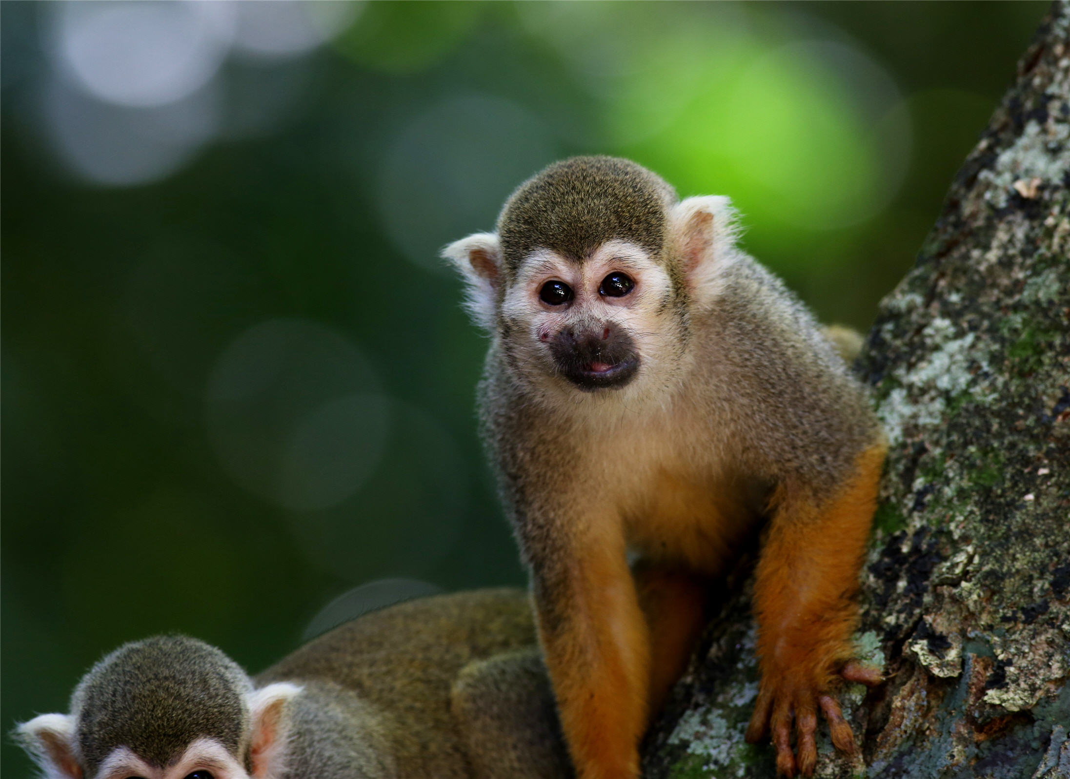 scented-monkey