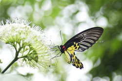 yellow-black-butterfly