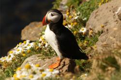 atlantic-puffin