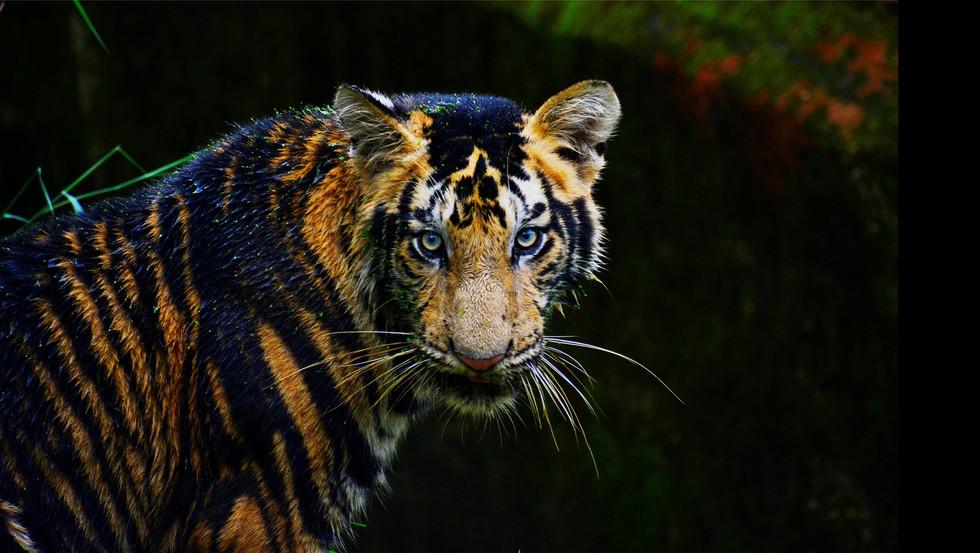 TigerPAQ-03.JPG