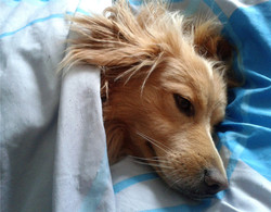 dog in bed
