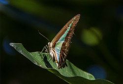 blue-triangle-butterfly