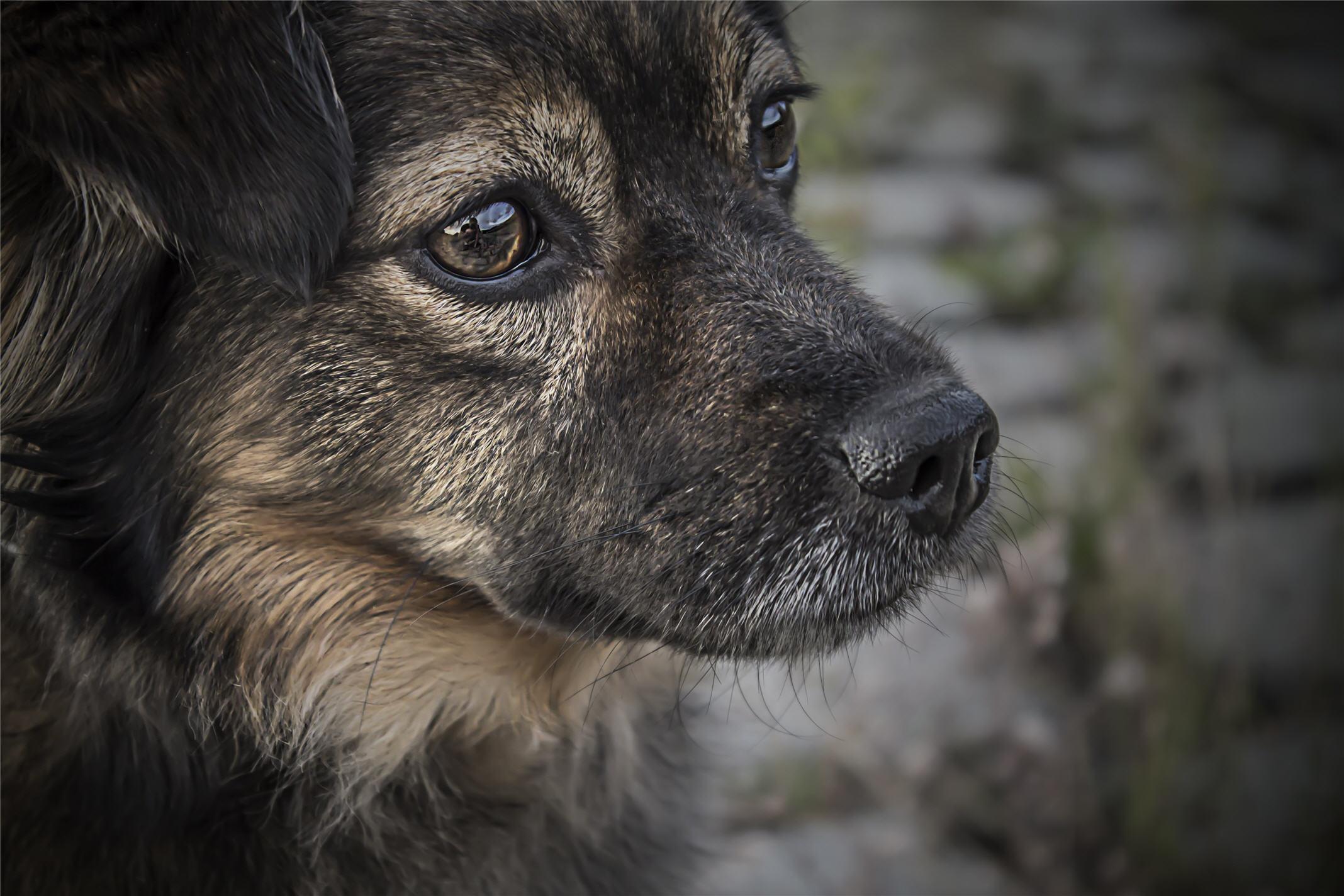 dog face