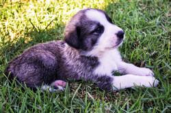 puppy-1522280