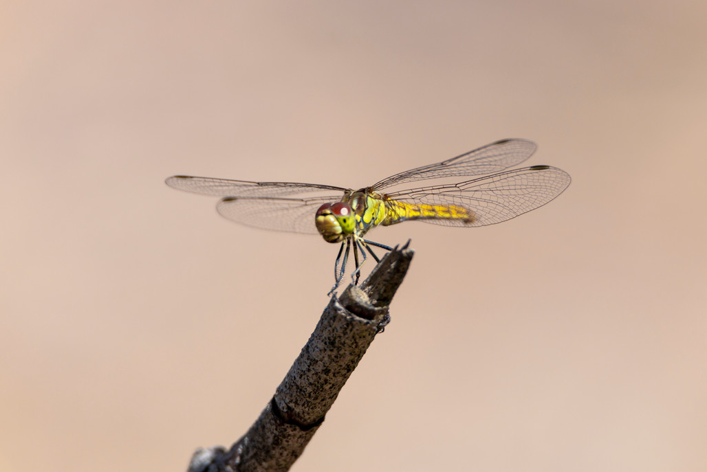 libelle geel.jpg