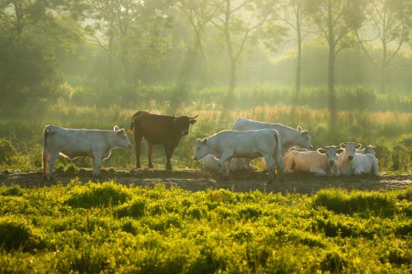 Koeien 1.jpg