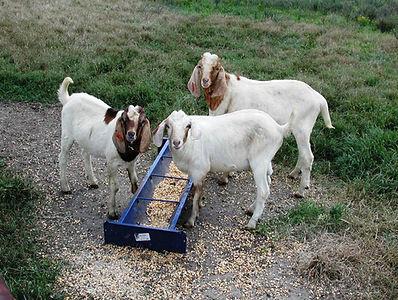 urincalc | Maryland Small Ruminant Page