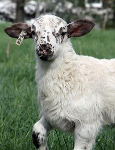 Katahdin lamb