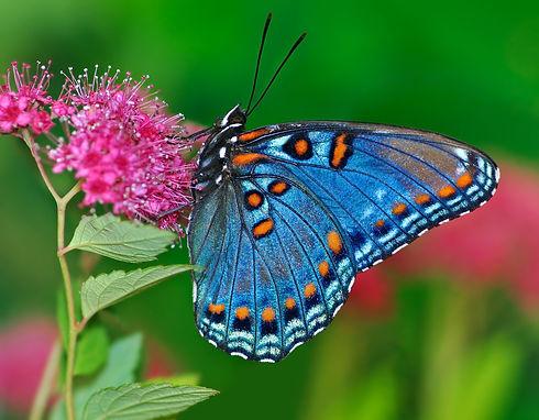blue & orange butterfly.jpg