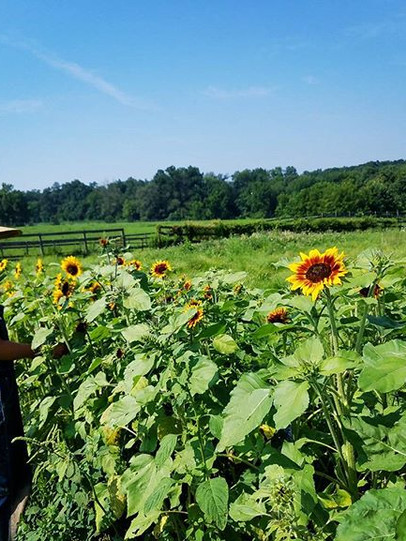 Sunflower pickin this morn with Rach 🌻☀