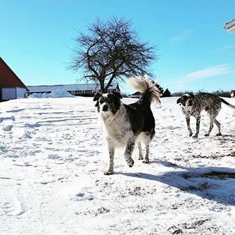#farmdogs on a #snowday #farmscenes #ram
