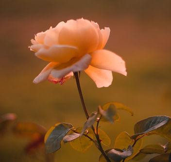 Rose%20Flower_edited.jpg
