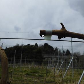 3/22 Atar LAS Ramas a unos alambres(Bijux,Yama-Sauvignon ) Plante Armo Noir En Akame