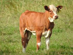 Bokara Freightliner Heifer Calf